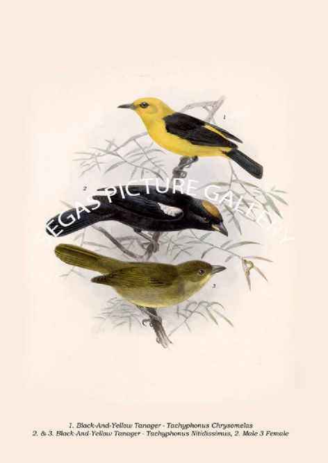 Fine art print of the Black-And-Yellow Tanager - Tachyphonus Chrysomelas - Black-And-Yellow Tanager - Nitidissimus by Osbert Salvin & Frederick Duncane Godman (1879-1904)
